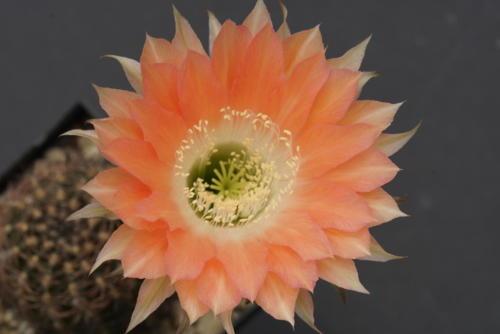 Echinopsis Hybr. GS117