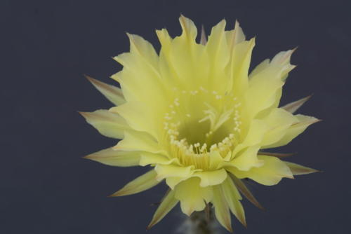 "Echinopsis Hybr. ""Golden Green"""