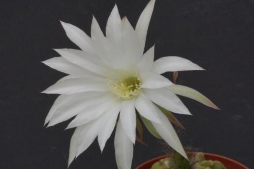 Echinopsis subdenudata ?