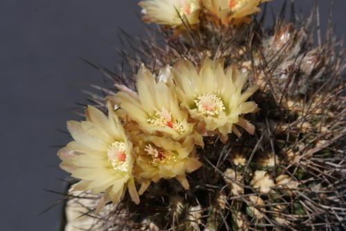 Eriosyce paucicostata fa. cristata