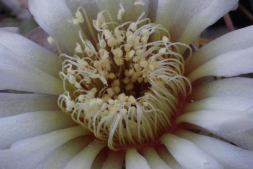 Gymnocalycium schroederianum