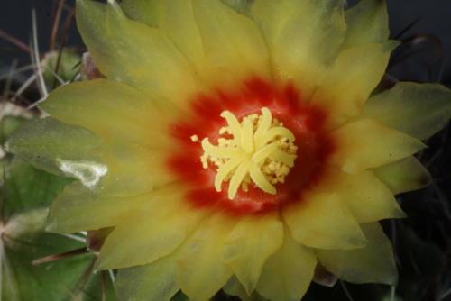 Ferocactus hamatacanthus ssp. hamatacantus