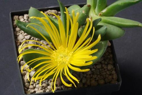 Juttadinteria deserticola (?)