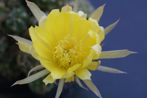 Lobivia arachnacantha var. sulphurea