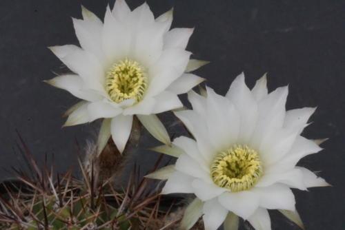 Lobivia aurea var. albiflora