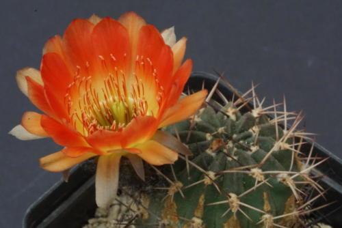 Lobivia pugionacantha var. culpinensis (WR83)