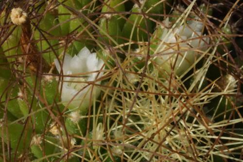 Mammillaria decipiens ssp. camptotricha