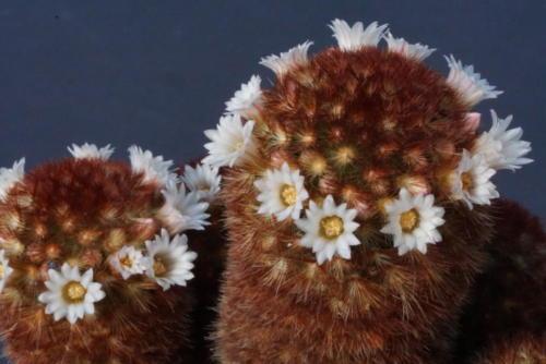 Mammillaria carmenae fa. rubrispina