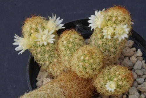 Mammillaria elongata
