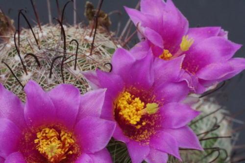 Mammillaria grahamii