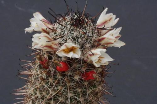 Mammillaria hutchinsonia