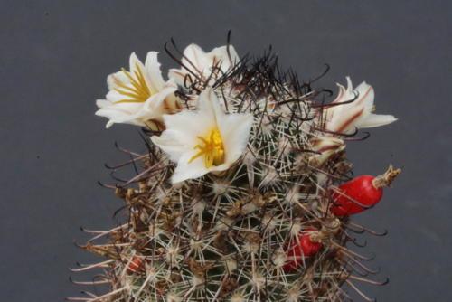 Mammillaria hutchinsoniana