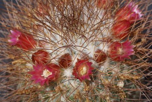 Mammillaria leptacantha