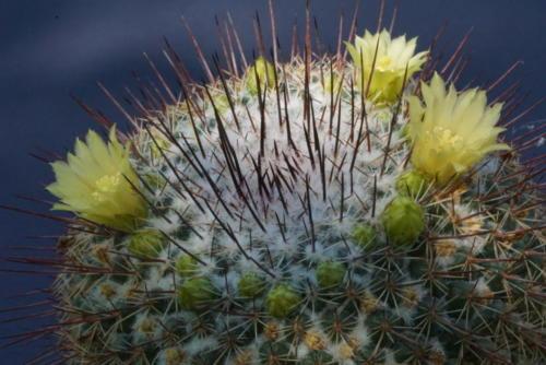 Mammillaria lindsayi