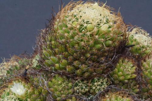 Mammillaria cv marnier-lapostollei