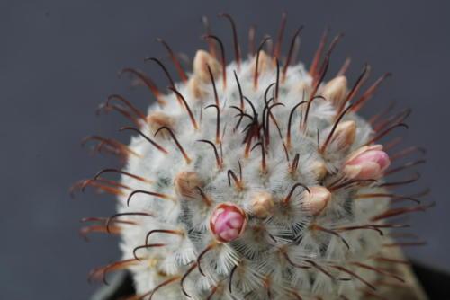 Mammillaria perezdelarosa var. andersonii