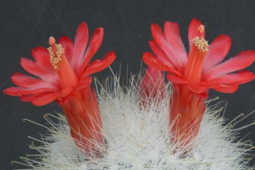 Mammillaria senilis