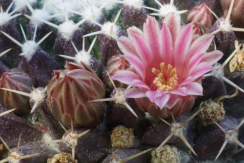 Mammillaria spec. (aus Tamaulipas)