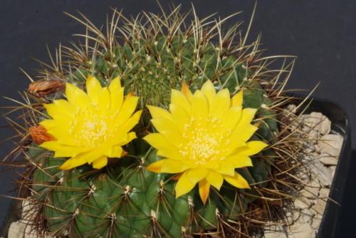 Matucana aureiflora