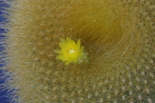 Notocactus graessneri 11