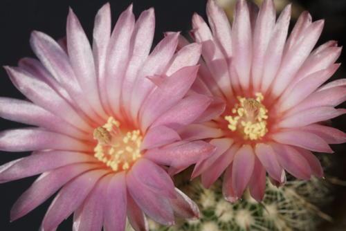Notocactus gutierezii