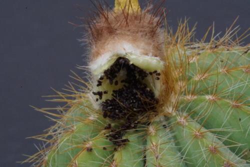 Notocactus magnificus Frucht