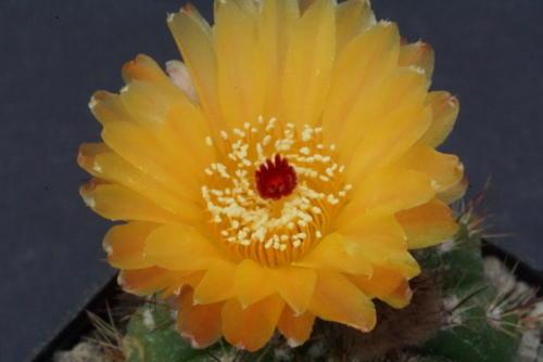 Notocactus ottonis cv Janousek