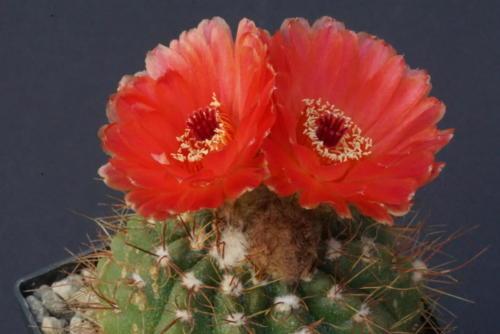 Notocactus ottonis cv. Venclu