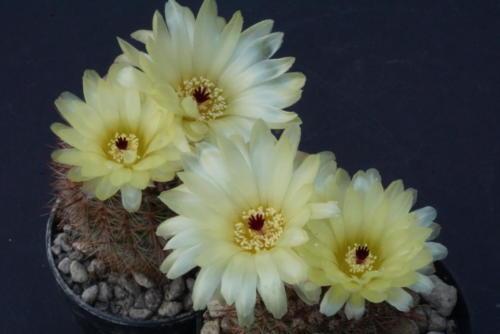 Notocactus erubescens fa. schlosseri
