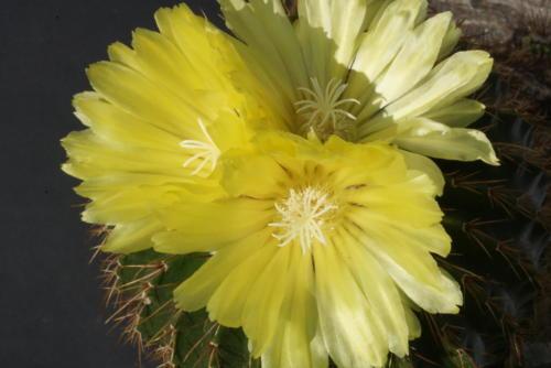 Notocactus schumannianus