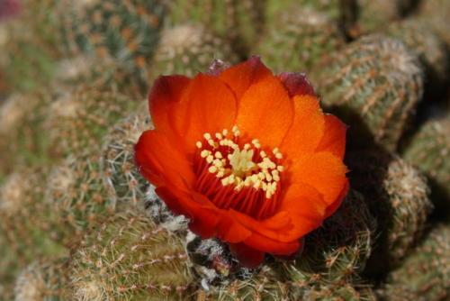 Rebutia fischeriana