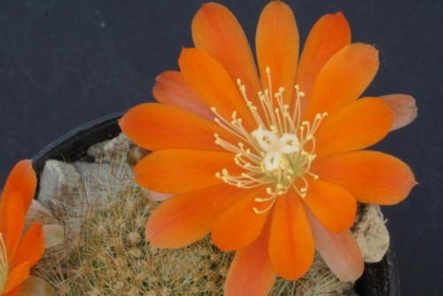 Rebutia spinosissima