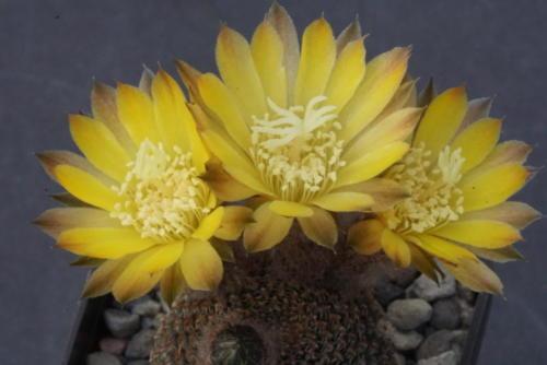 Reicheocactus famatimensis