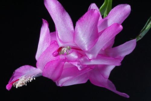 Schlumbergera Hybr. pink