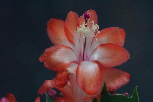 Schlumbergera Hybr. rot