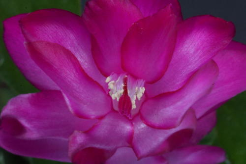Schlumbergera truncata hybr.