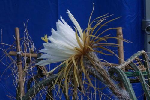 Selenicereus grandiflorus