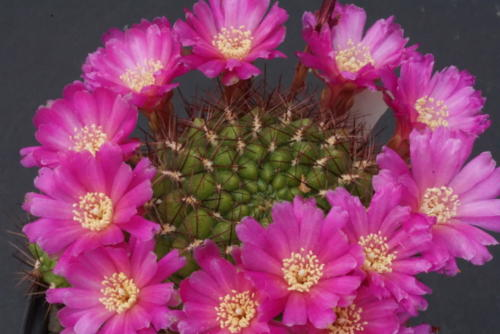 Sulcorebutia frankiana