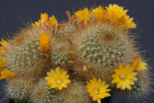 Sulcorebutia glomerispina