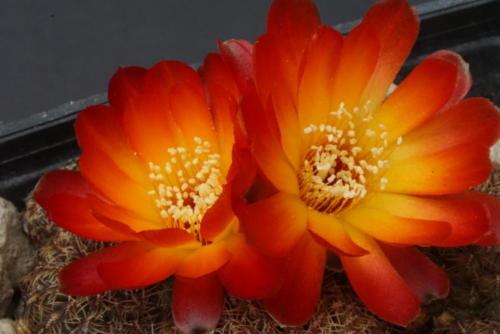 Sulcorebutia tarabucoensis var. aureiflora