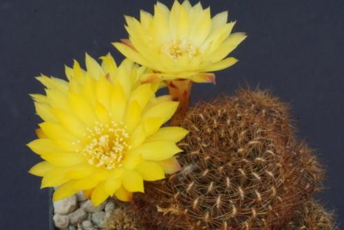 Sulcorebutia vargasii WK 995